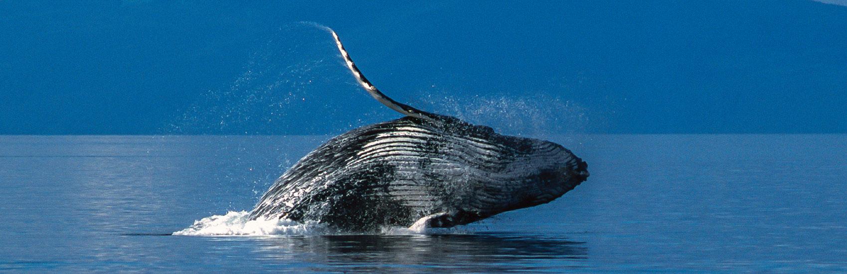 Holland America: Alaska's Top 5 Marine Mammals 0